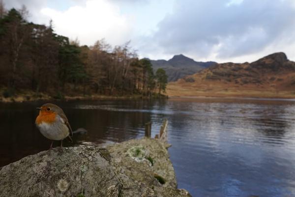 Posing robin by Angi_Wallace