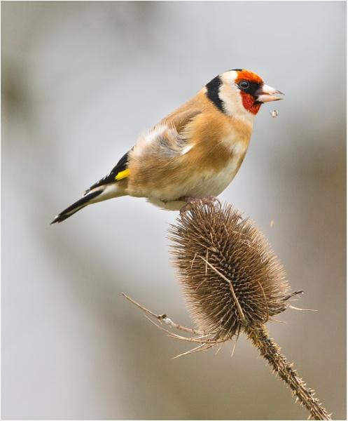 Goldfinch feeding. by mjparmy