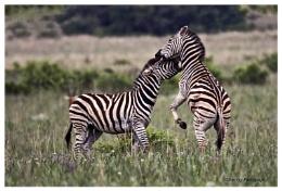 Zebra,s mock fight