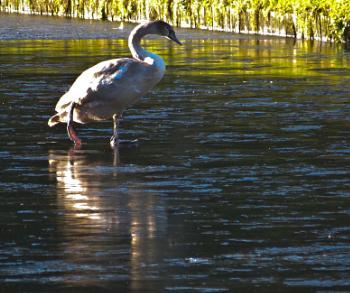 Dancing on ice - Swan Lake.