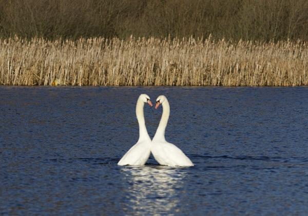flirting swans by robthecamman