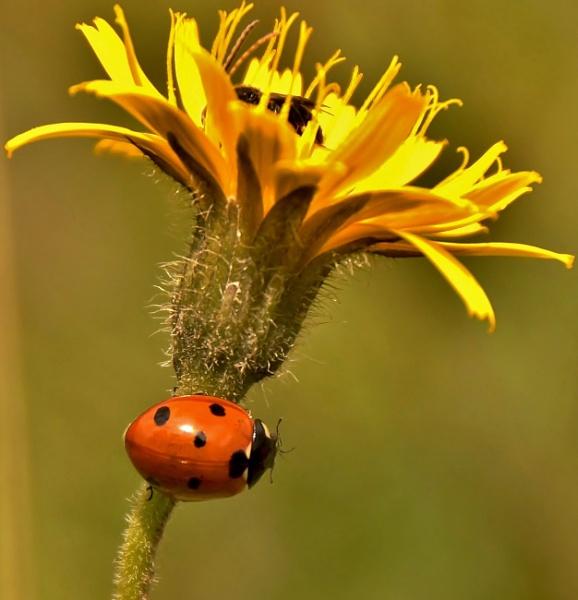 Ladybird on flower by georgiepoolie