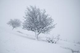 Snowy Hawthornes
