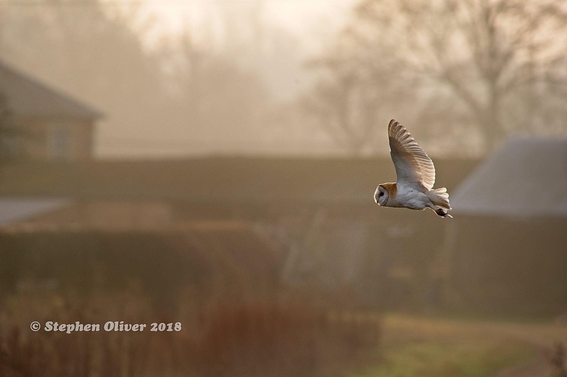 Morning Barn Owl