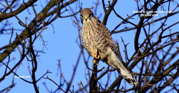 hawk by paulpirie