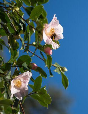 Bee in Clematis
