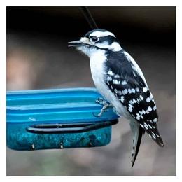 Mrs. Downy Woodpecker