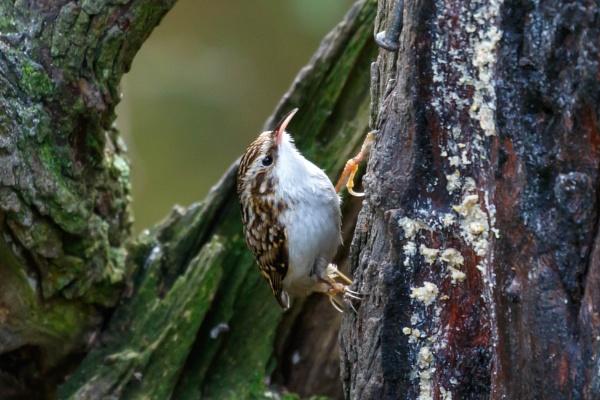 Treecreeper by nobby1