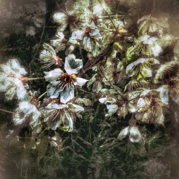 Beautifull Blossom by Monochrome2004