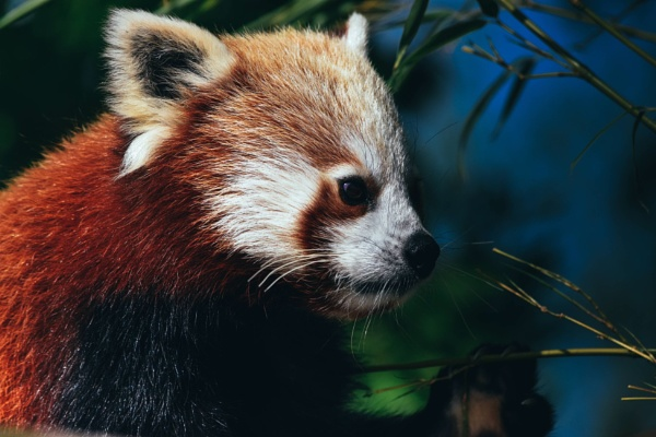 Red Panda by JoshMorris