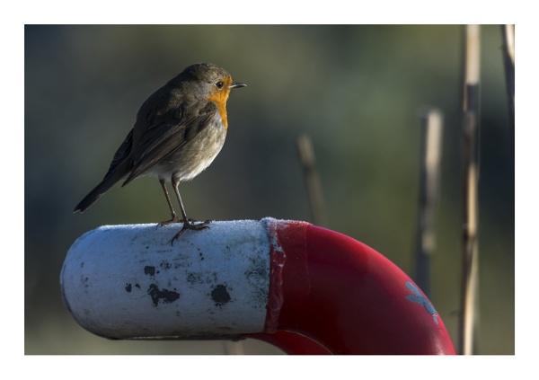 Robin by gerti62