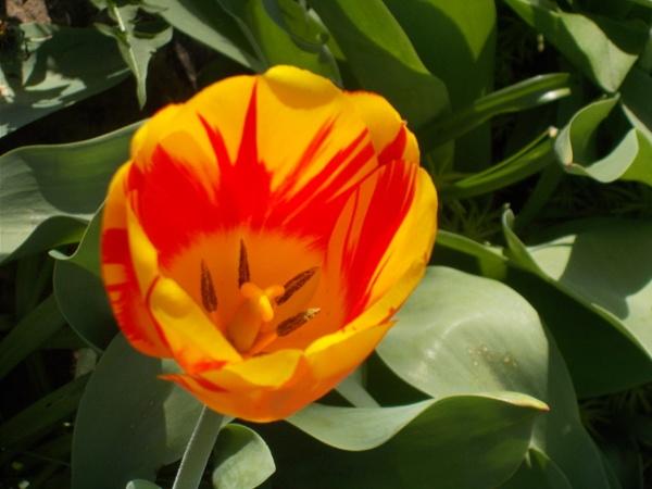 An Orange Tulip by Bar1826