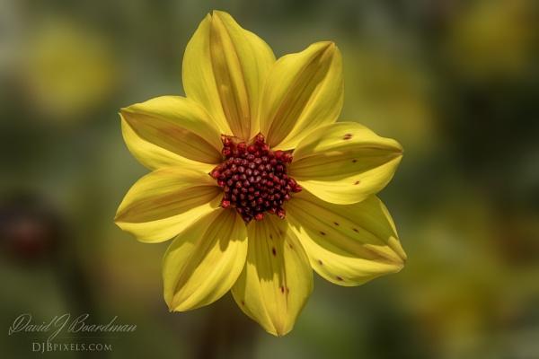 Yellow Dahlia by DBoardman