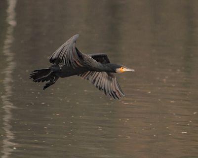 Cormorant BIF