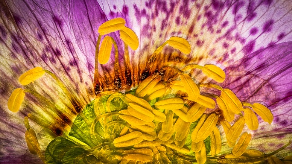 Hellebore Abstract by barrywebb