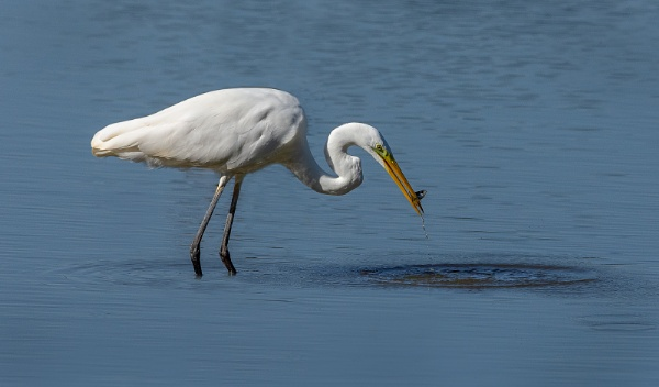 Great while Egret with tiddler by Mike_Young