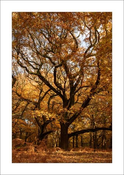Autumn Oak by Steve-T