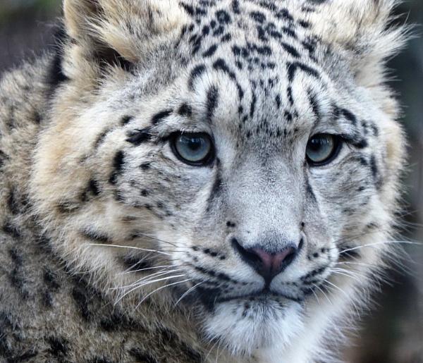Snow Leopard Portrait by boxer57