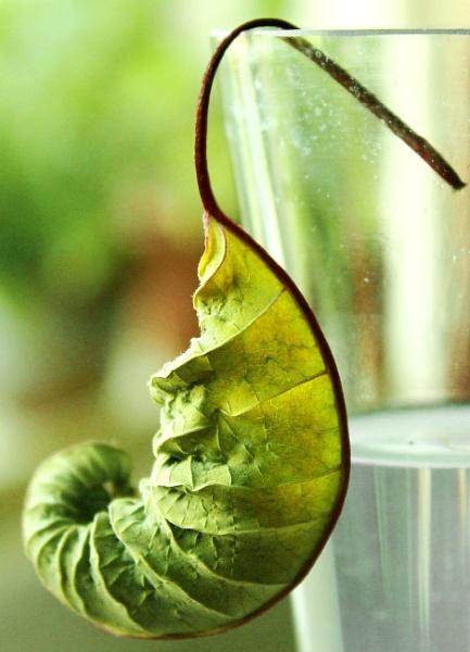 Drying poinsettia leaf by helenlinda