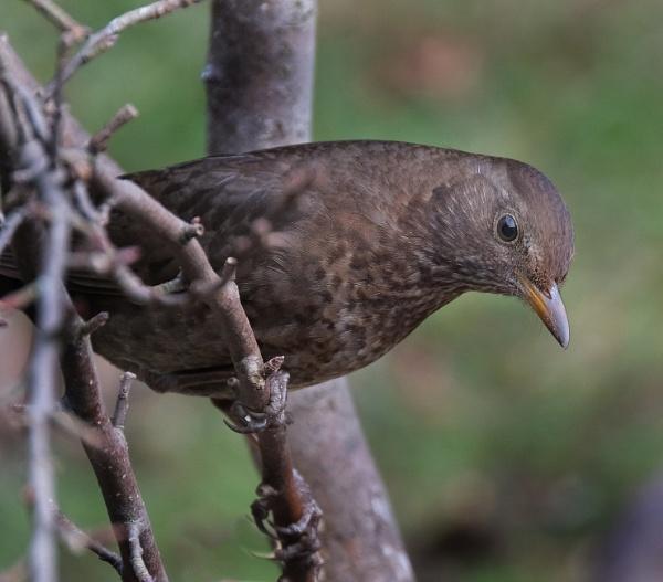 Female Blackbird by paulbroad