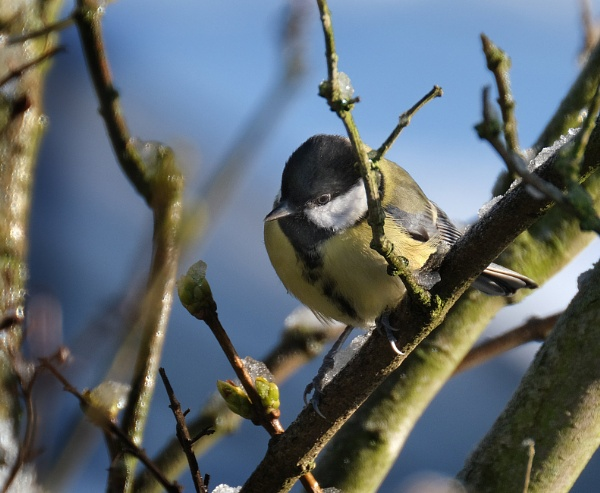 Coal Tit. by paulbroad