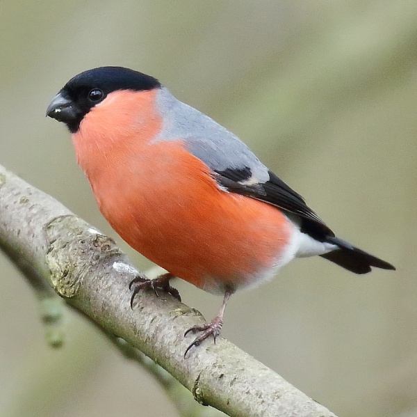 Bullfinch by colin beeley
