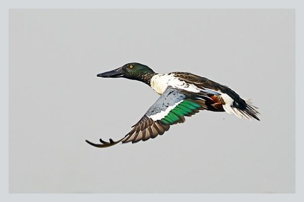 Shoveller Duck by prabhusinha