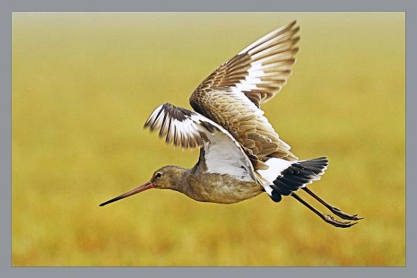 Godwit in Flight by prabhusinha