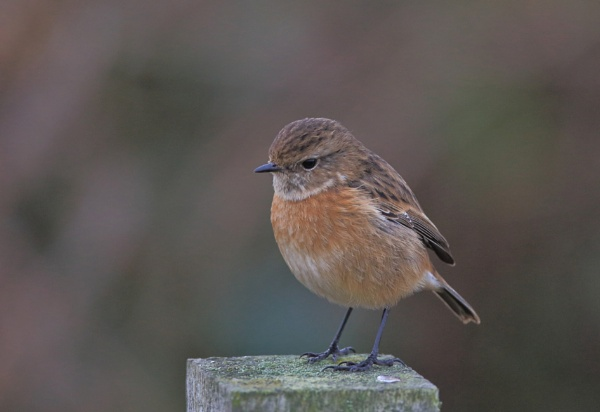 Female Stonechat by HenB