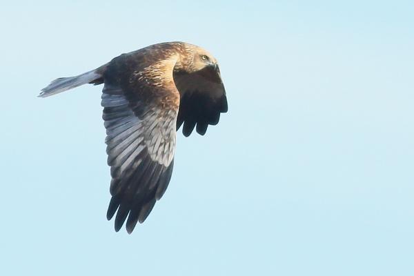 Harrier... by TerryMcK