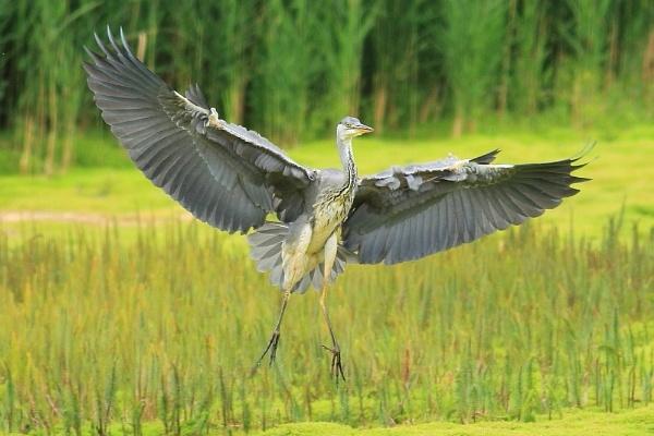 Heron Touchdown by TerryMcK