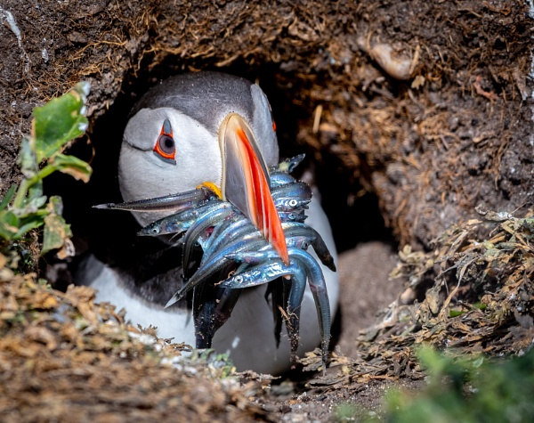 Greedy Puffin by jeronius