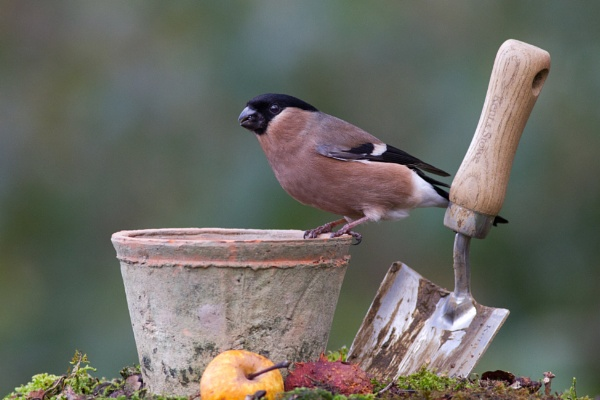 Female Bullfinch by Brian65