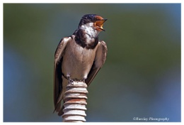 Swallow in full song