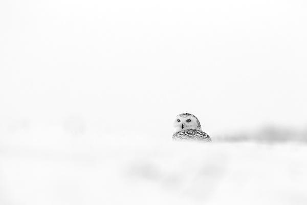 Snowy Owl by hibbz