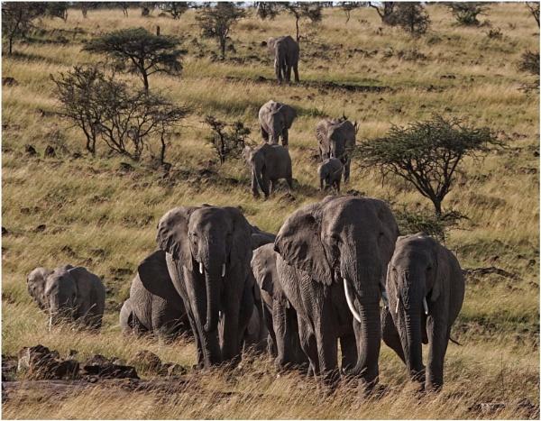 Elephant Parade #2 by notsuigeneris