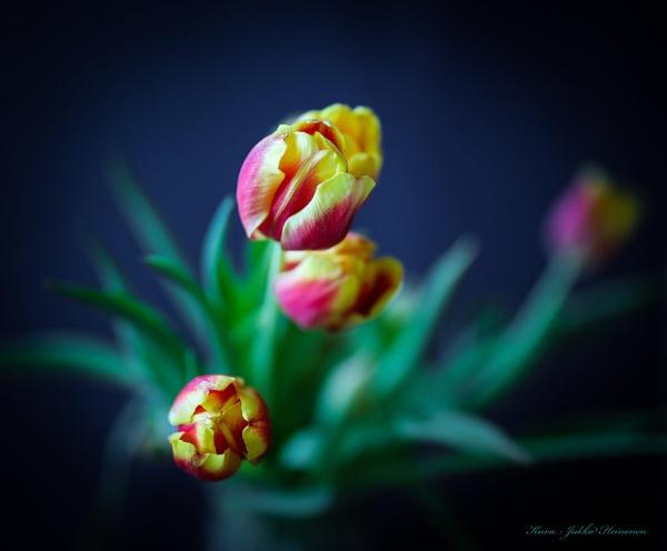 Tulips. by kuvailija