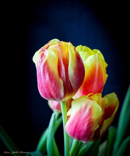 Tulips - 2. by kuvailija