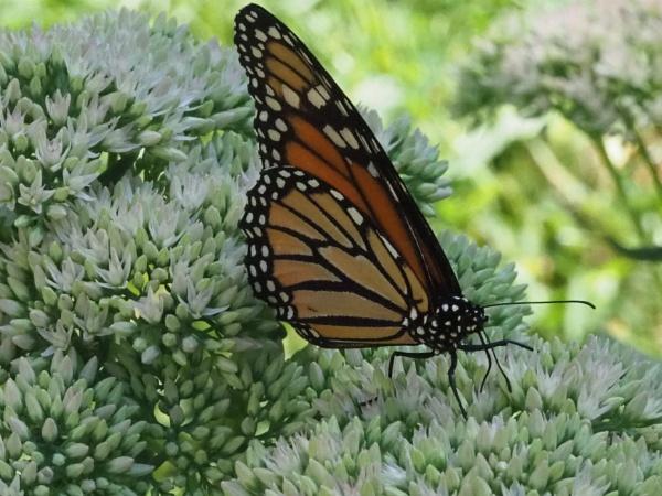 Monarch Butterflies by handlerstudio
