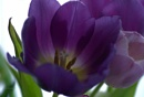 Purple tulips by pentaxpatty at 28/01/2019 - 2:31 PM