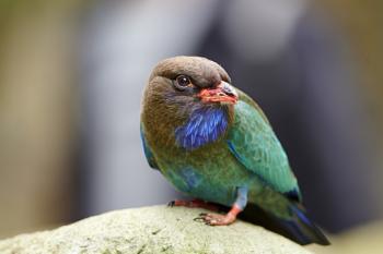 Dollarbird - Eurystomus orientalis