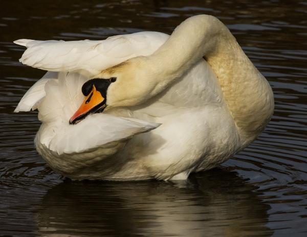 Swan preening by Madoldie