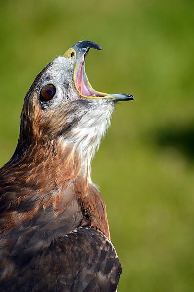 Open wide ... bird of prey portrait by onlythepony