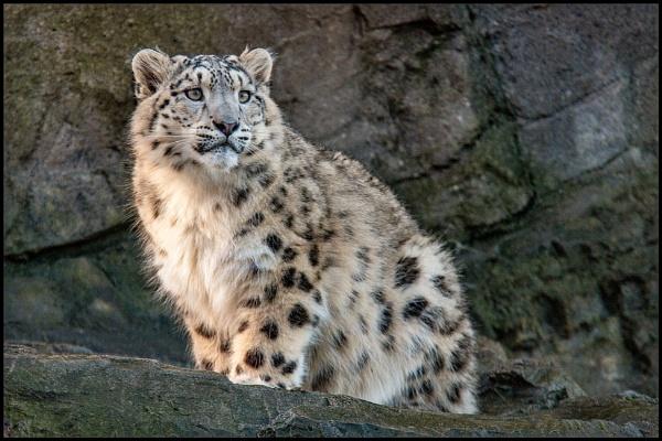 Snowleopard cub by rickie