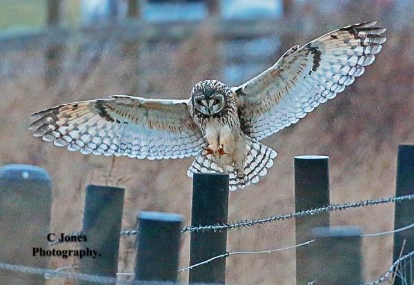 Short-eared owl. by cjones