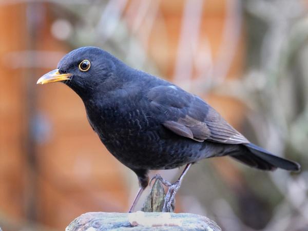 "\""A February Blackbird\"". by adrianedwa"