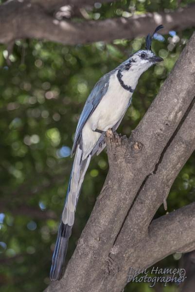 Black-throated magpie-jay by IainHamer
