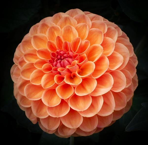 Tangerine Pom-Pom by adagio