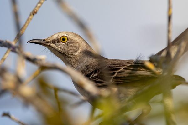 Northern Mockingbird by DBoardman