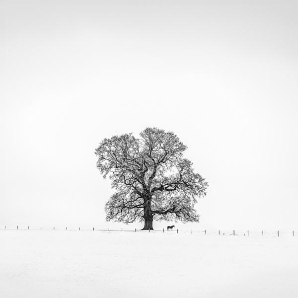 The Majestic Oak by barrywebb
